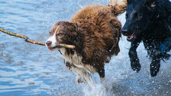 Dogs running through shallow water, one of them holding a stick.